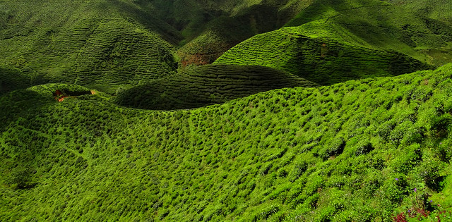 Cameron Highlands - Tealand