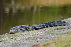 animal, crocodile, reptile, nature, nile crocodile, fauna, american alligator, alligator, crocodilia, wildlife,