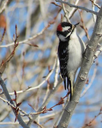 #3 Downy Woodpecker by geosport