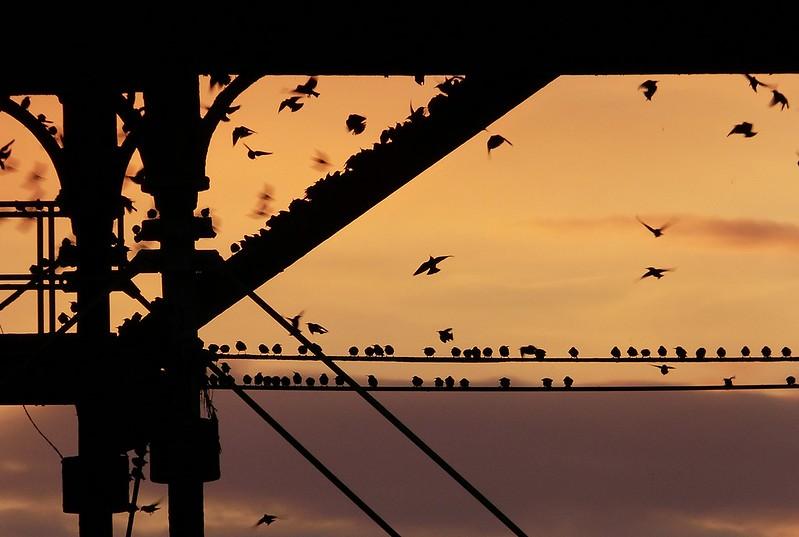 29164 - Starling Murmuration, Aberystwyth Pier
