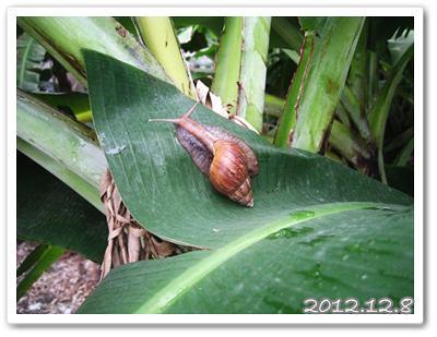 121208-芭蕉葉上的蝸牛