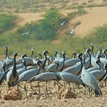 Demoiselle Cranes, Rajasthan, India