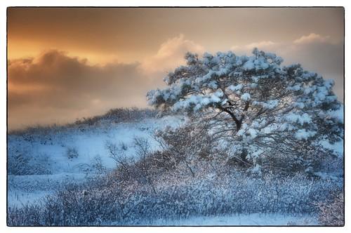 winter orange white snow cold tree beach pine sunrise golden capecod massachusetts gray