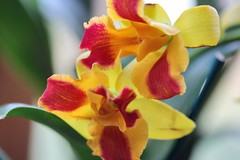 orchid cat burana beauty 007