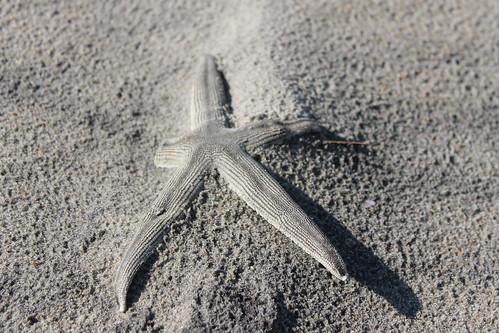 Ocracoke Island shelling. Starfish.