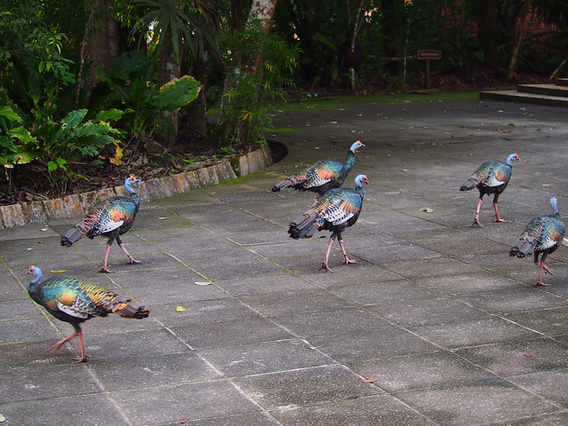 Turkeys at Tikal, Guatemala