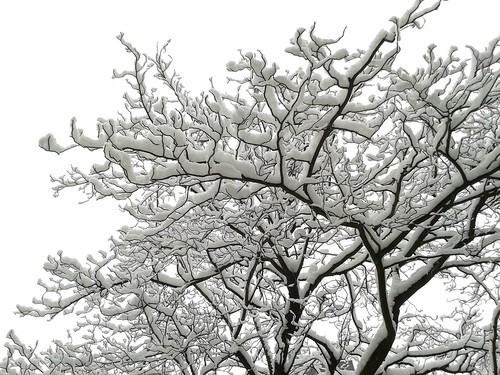 Tree after Cologne Snowfall