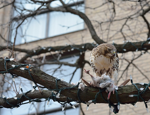 A hawk eats a pigeon by St. Lawrence Market, Toronto.