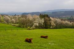 Paysage et vaches