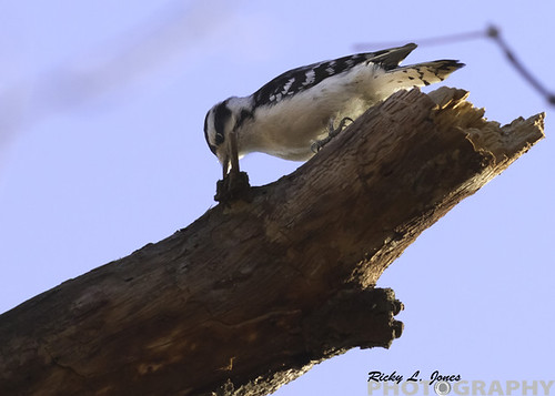 Female Downy Woodpecker by Ricky L. Jones Photography