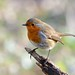 Robin in the Winter sun by Rivertay (more off than on)