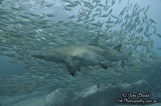 Grey Nurse Shark by Jim Dodd