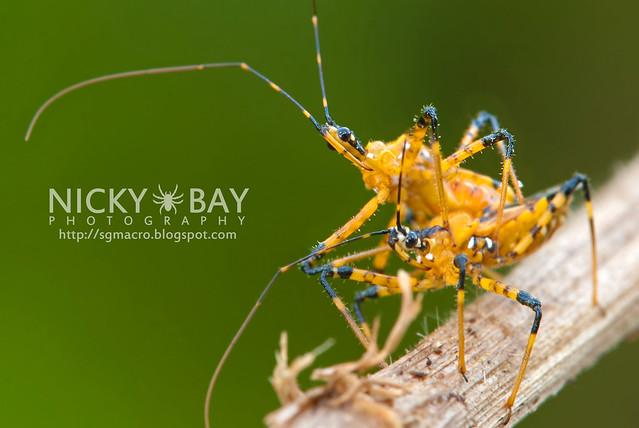 Assassin Bugs (Reduviidae) - DSC_2783