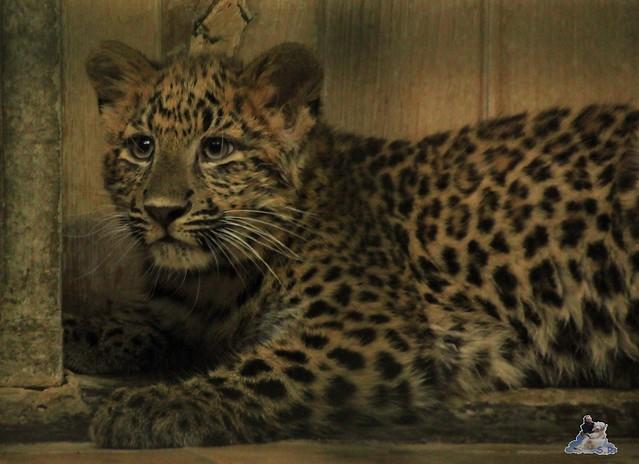 die kleinen Chinaleoparden