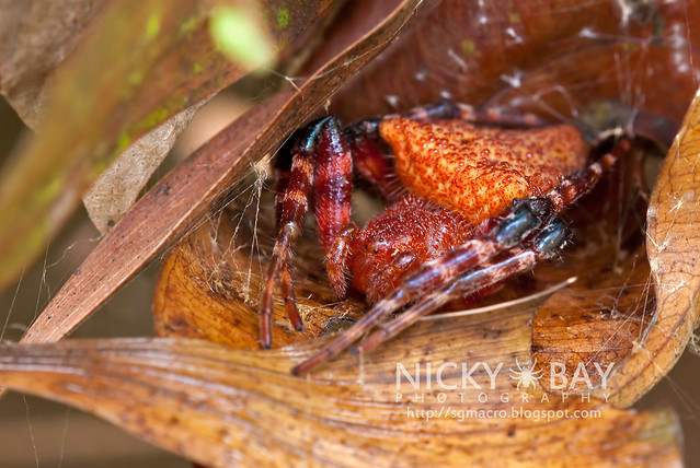 Red Tent Spider (Cyrtophora unicolor) - DSC_3010