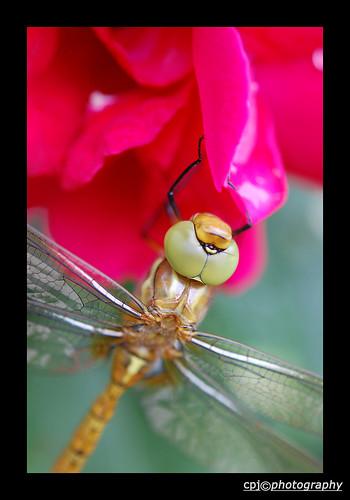 Libelle op roos