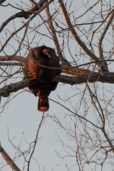 Turkey Roosting_41027.jpg by Mully410 * Images