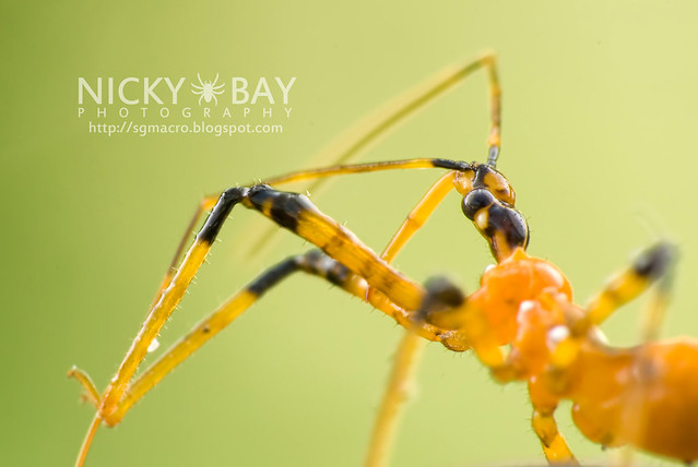 Assassin Bug (Reduviidae) - DSC_9683