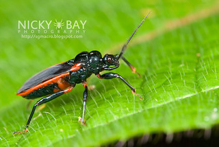 Assassin Bug (Reduviidae) - DSC_9510