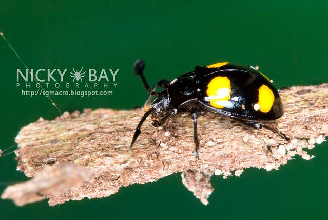 Fungus Beetle? - DSC_9236