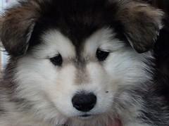 finnish lapphund(0.0), siberian husky(0.0), east siberian laika(0.0), greenland dog(0.0), northern inuit dog(0.0), native american indian dog(0.0), samoyed(0.0), dog breed(1.0), animal(1.0), dog(1.0), pet(1.0), german spitz(1.0), canadian eskimo dog(1.0), alaskan malamute(1.0), carnivoran(1.0),