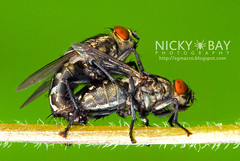 Flesh Flies (Sarcophagidae) - DSC_8529
