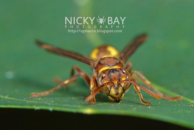 Wasp (Apocrita) - DSC_6847