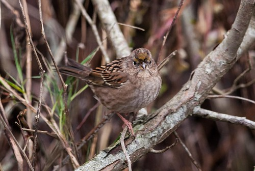 Common birds are no less enjoyable than rare ones. I always enjoy Golden-crowned Sparrows.