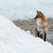 Red Fox in snow by mortenprom