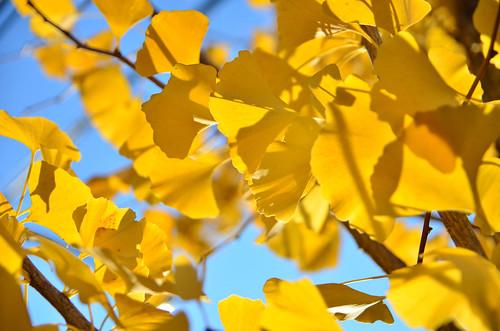 銀杏の黄葉 (Yellow leaves of Ginkgo)