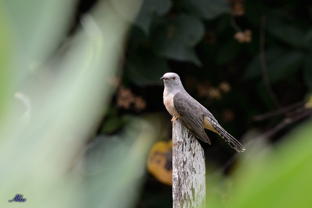 Plaintive_Cuckoo_2072