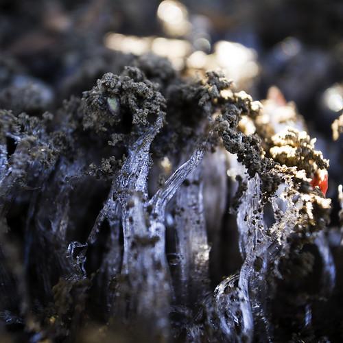 Ice Fungus in Morning Light