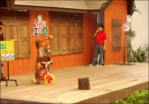 Orangutan riding a bike