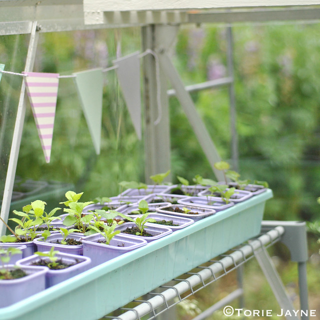 Growing seedlings in my greenhouse