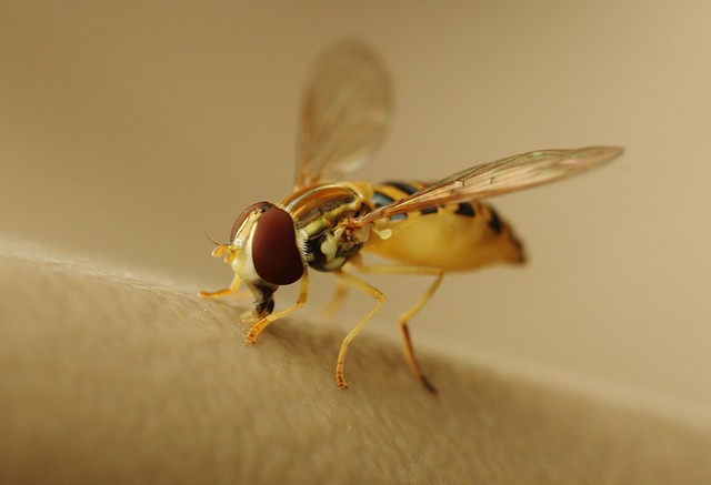 Syrphid fly, Toxomerus politus