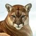 Small photo of Cougar Smug