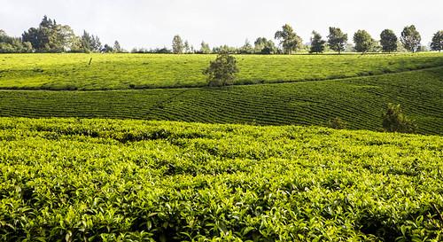tea kenya nairobi teaplantation