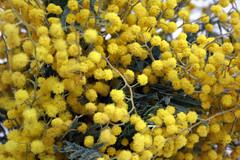 evergreen(0.0), shrub(0.0), food(0.0), oregon grape(0.0), pollen(1.0), flower(1.0), yellow(1.0), plant(1.0), macro photography(1.0), subshrub(1.0), flora(1.0), produce(1.0),