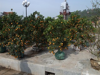 みかんの盆栽