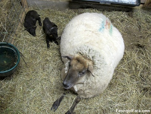 Lambing season begins! (11) - FarmgirlFare.com
