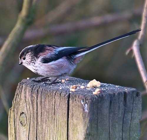 Long-Tailed Tit With Lunch
