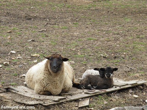 Lamb cute (1) FLB and her twins - FarmgirlFare.com