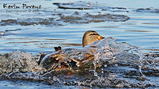 Bathing Female....Mallard