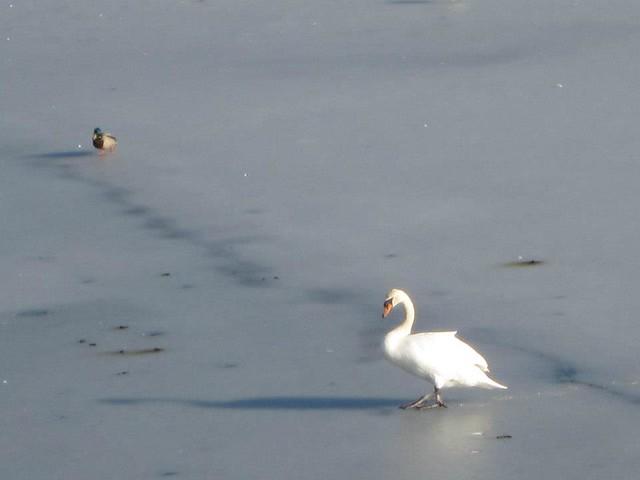 bird_on_ice