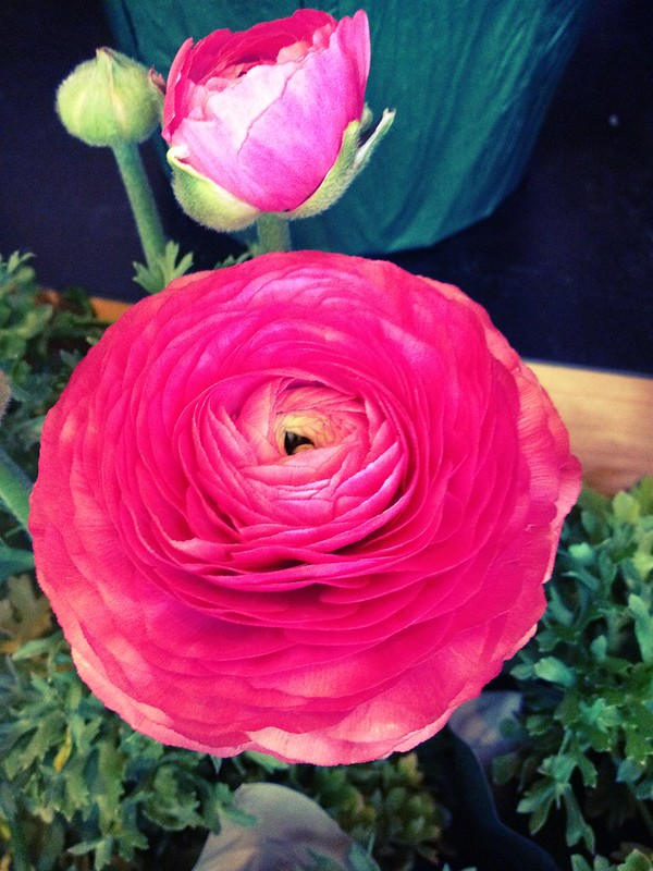 Pink Ranunculus - so pretty!