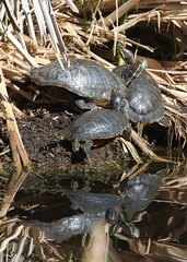 Red-eared Slider Clump