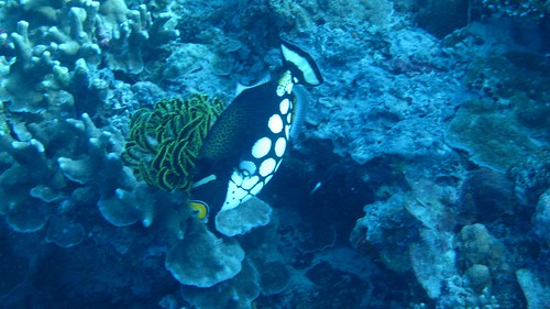 Triggerfish in Sipadan
