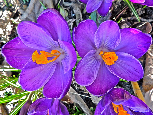 Colourful Spring Crocus! .........(63/365) by Irene_A_