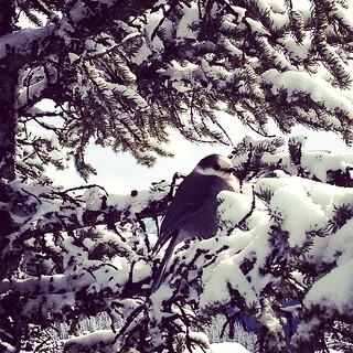 Alpine bird