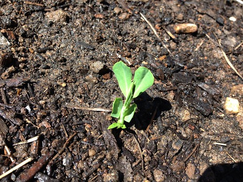 Baby Snap Peas!!!!